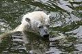 Ursus maritimus -Berlin Zoo, Germany -swimming-8a.jpg