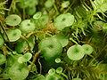 Utricularia pubescens.JPG