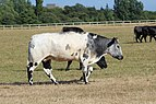 Vaches Parc Town Moor Newcastle Tyne 14.jpg