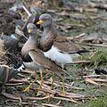 Vanellus cinereus pair.JPG