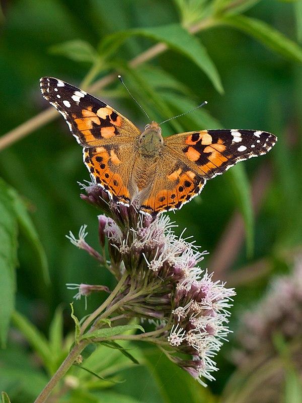 Vanessa (butterfly)