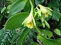 Vanilla planifolia (6998639597).jpg