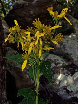 Verbesina occidentalis - Yellow Crownbeard.jpg