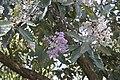 Vernonia arborea 4713.jpg