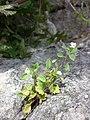 Veronica cymbalaria sl2.jpg