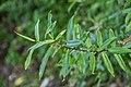 Veronica ligustrifolia in Christchurch Botanic Gardens 01.jpg