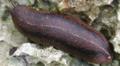 Veronicella cubensis 3.png