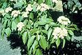 Viburnum lentago 1480547.jpg
