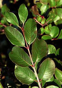 Viburnum Rufidulum Wikipedia
