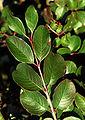 Viburnum rufidulum foliage.jpg
