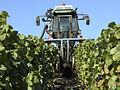 Vigne Pinot Noir (Festigny) Cl.J.Weber01 (23382054990).jpg