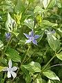 Vinca sardoa (plant).jpg