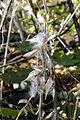 Vincetoxicum rossicum SCA-05237.jpg