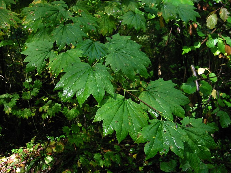 erable à feuilles rondes au printemps