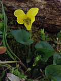 Viola pubescens - Smooth Yellow Violet.jpg