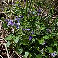 Viola riviniana (4655404632).jpg
