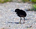 Virginia Rail (Rallus limicola) - newborn chick (9010322918) (cropped).jpg