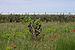 Vitis vinifera and Papaver rhoeas, Castelnau-de-Guers, Hérault 02.jpg