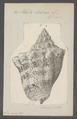 Voluta hebraea - - Print - Iconographia Zoologica - Special Collections University of Amsterdam - UBAINV0274 087 04 0016.tif