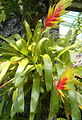 Vriesea carinata BotGardBln07122011D.jpg