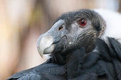 μεγάλο πουλί κλαμπ Βραζιλίας μαυρομουνί γυναίκες