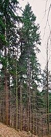 Waldtraut vom Mühlwald (Freiburg) 5082.jpg