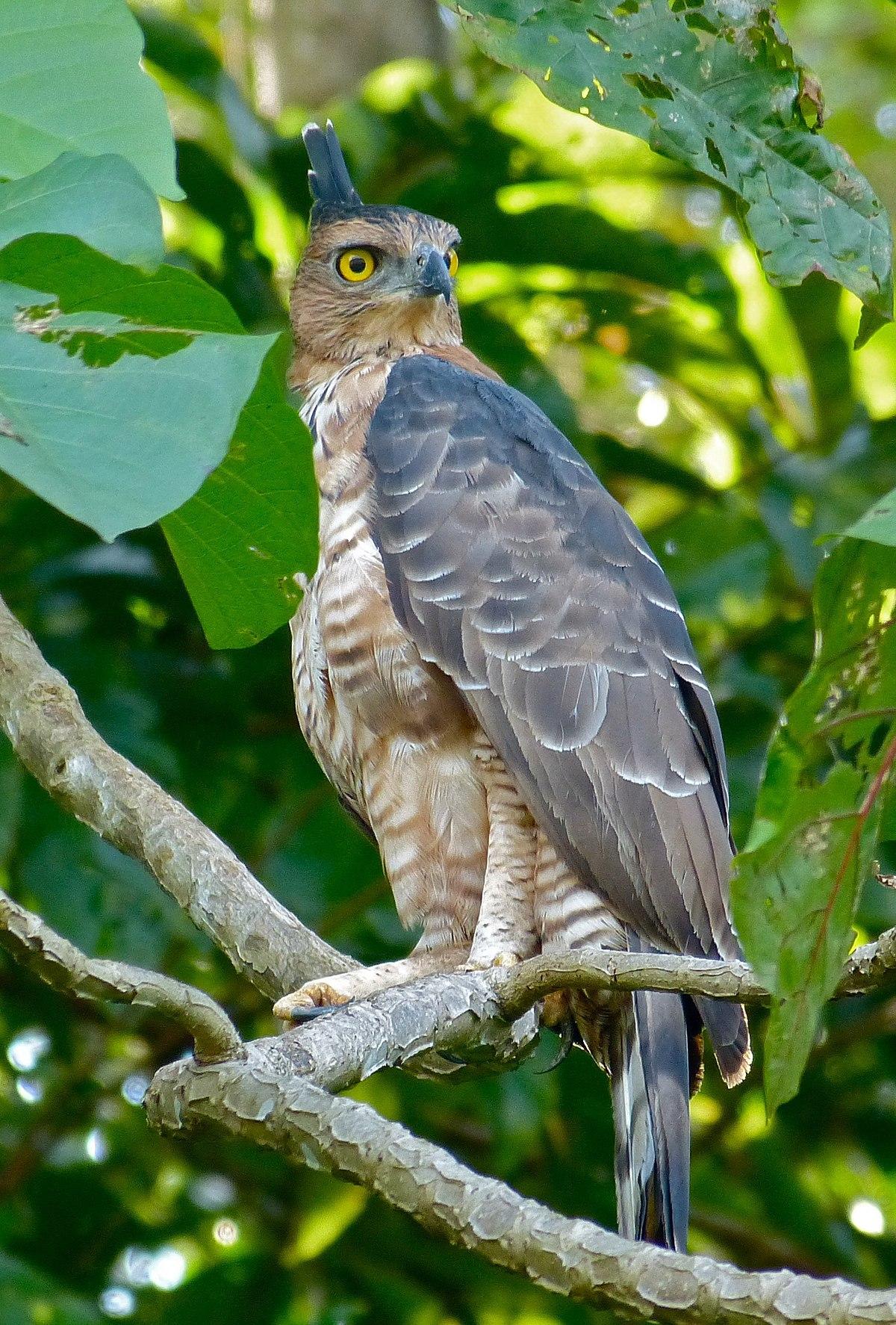 Wallace S Hawk Eagle Wikipedia