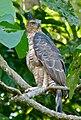 Wallace's Hawk-eagle (Nisaetus nanus) (8067762642).jpg