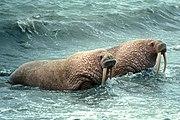 Walruses leaving the water
