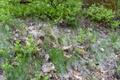 Wartenberg Wernersberg Vaccinium myrtillus Populus seeds.png