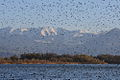 Wasservoegel Fussacher Bucht copyright UMG.at.jpg