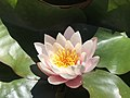 Water lily in braga.jpg