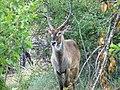 Waterbuck (393160159).jpg