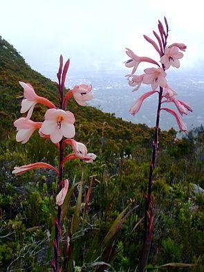 Watsonia tabularis  am Naturstandort: Tafelberg, Kapstadt.