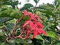 Wayanadan-random-flowers IMG 20180524 153105 HDR (41475316965).jpg