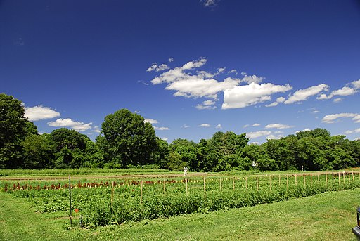 Weeding the lettuce (798138529)