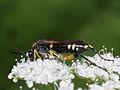 Weibliche Bergblattwespe - Macrophya montana, ♀ (7570447630).jpg