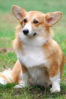 Pies Pasterski Wikipedia Wolna Encyklopedia
