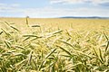 Wheat Ears (217406179).jpeg