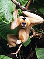 White-Cheeked Gibbon (Female).jpg