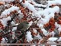 White-browed Tit Warbler (Leptopoecile sophiae) (24173796003).jpg
