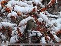 White-browed Tit Warbler (Leptopoecile sophiae) (24937253082).jpg