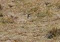 White-rumped Swallow (Tachycineta leucorrhoa) (4857018320).jpg