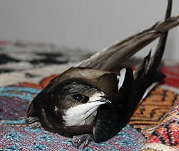 White-throated needletail 1.jpg