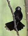 White-winged widowbird, Euplectes albonotatus, male, at Dinokeng Game Reserve, Gauteng-Limpopo, South Africa (16356853726).jpg