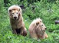 White Male Lions.jpg