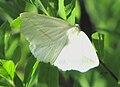 White Slant-line moth.jpg