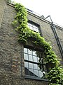 White Wisteria, Puma Court, Spitalfields, London - geograph.org.uk - 983035.jpg