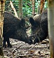 Wild Boar courting (355647905).jpg