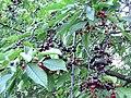 Wild cherries 6.JPG